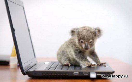 Маленькая коала